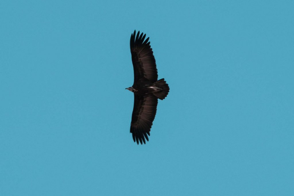 Condor flying in Botswana, Africa. Cheetah, cubs & the most incredible dinner setting