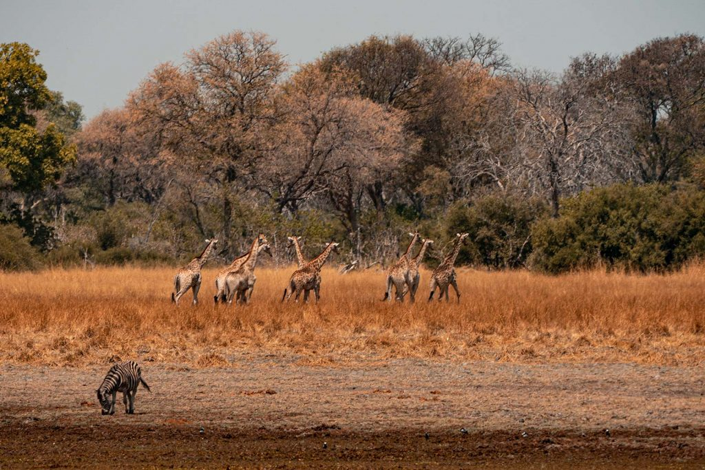 Giraffes in Botswana, Africa. Cheetah, cubs & the most incredible dinner setting