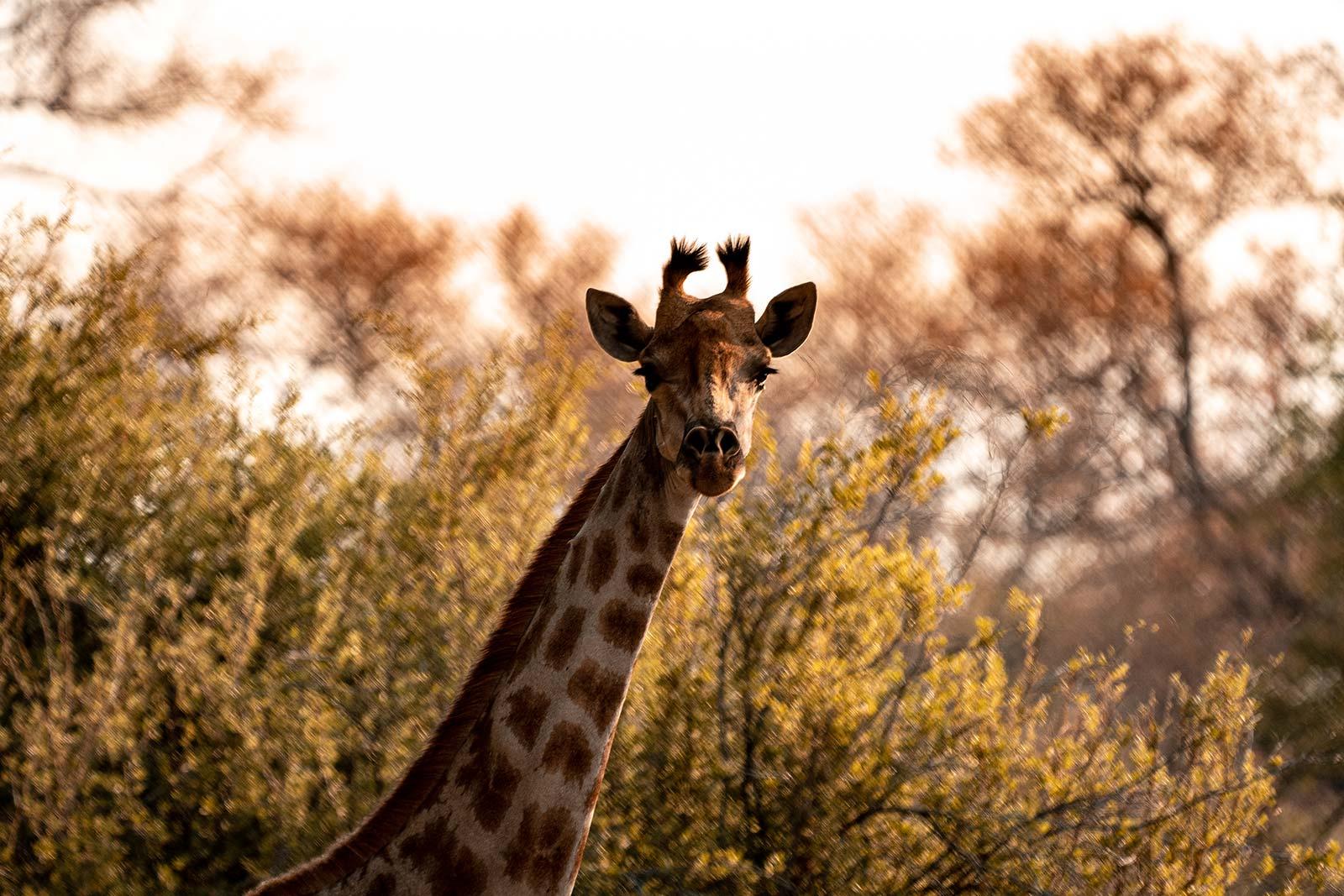 Giraffe in Botswana, Africa. Cheetah, cubs & the most incredible dinner setting