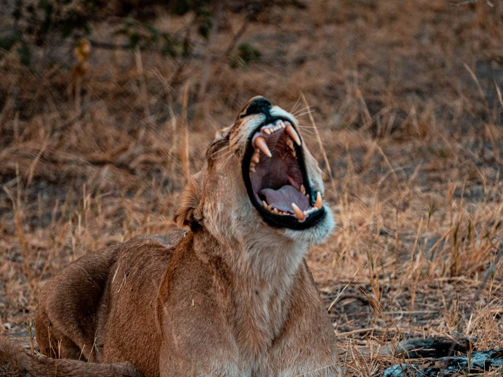 Lion cub in Botswana, Africa. Cheetah, cubs & the most incredible dinner setting