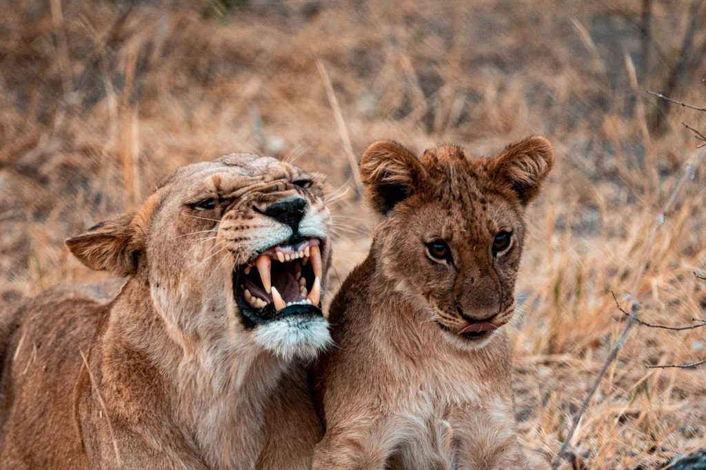 Lioness and cub in Botswana, Africa. Cheetah, cubs & the most incredible dinner setting
