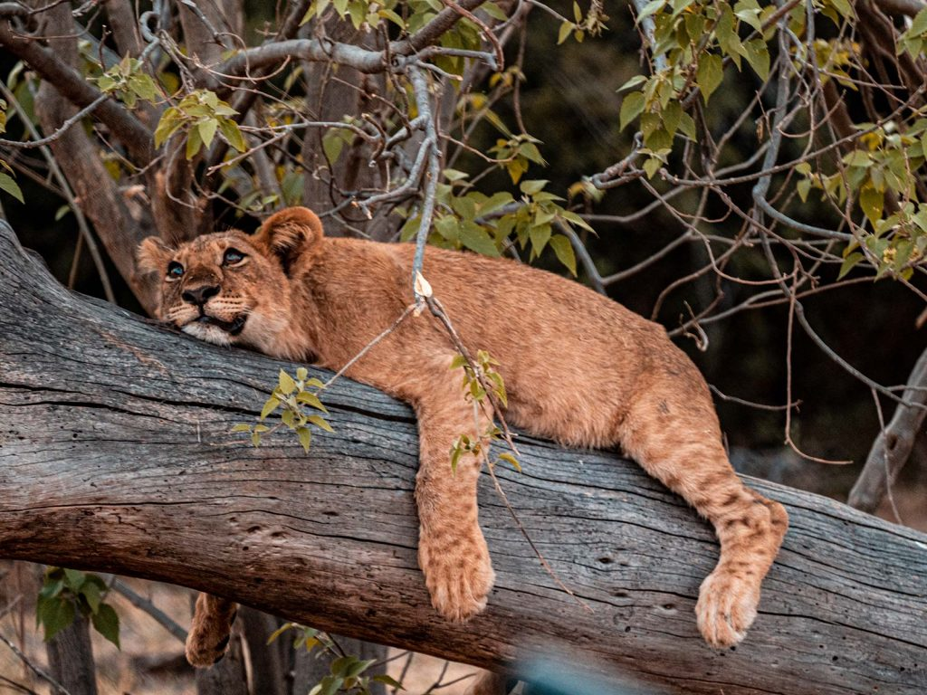 Lion cub resting on a branch in Botswana, Africa. Cheetah, cubs & the most incredible dinner setting