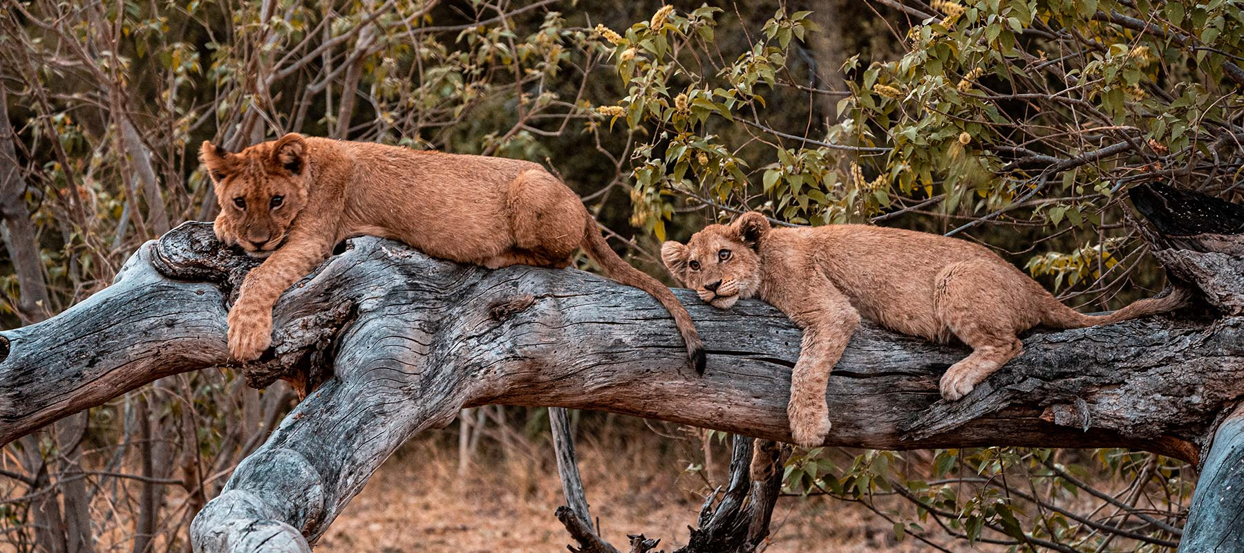 Lion cubs resting on a branch in Botswana, Africa. Cheetah, cubs & the most incredible dinner setting