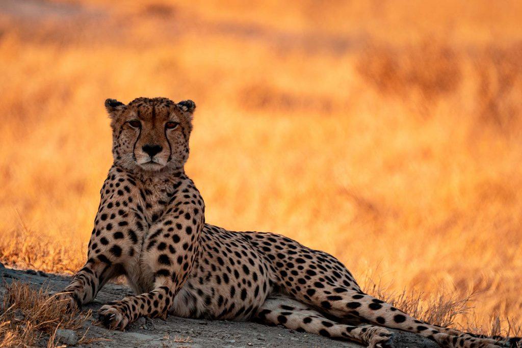 Cheetah in Botswana, Africa. Cheetah, cubs & the most incredible dinner setting