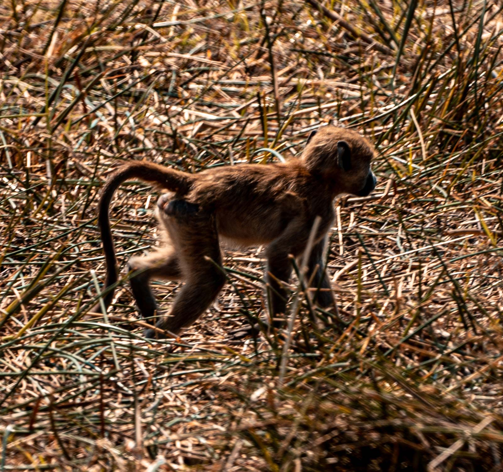 Monkey in Botswana, Africa. Cheetah, cubs & the most incredible dinner setting
