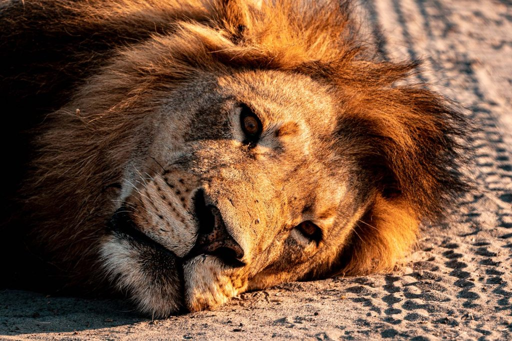 Lion resting in Botswana, Africa. Cheetah, cubs & the most incredible dinner setting