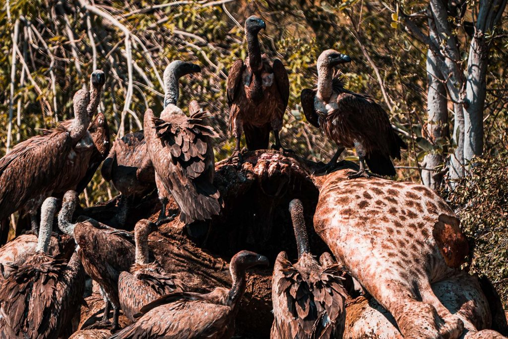 Vultures feeding on carcass in Botswana, Africa. Cheetah, cubs & the most incredible dinner setting