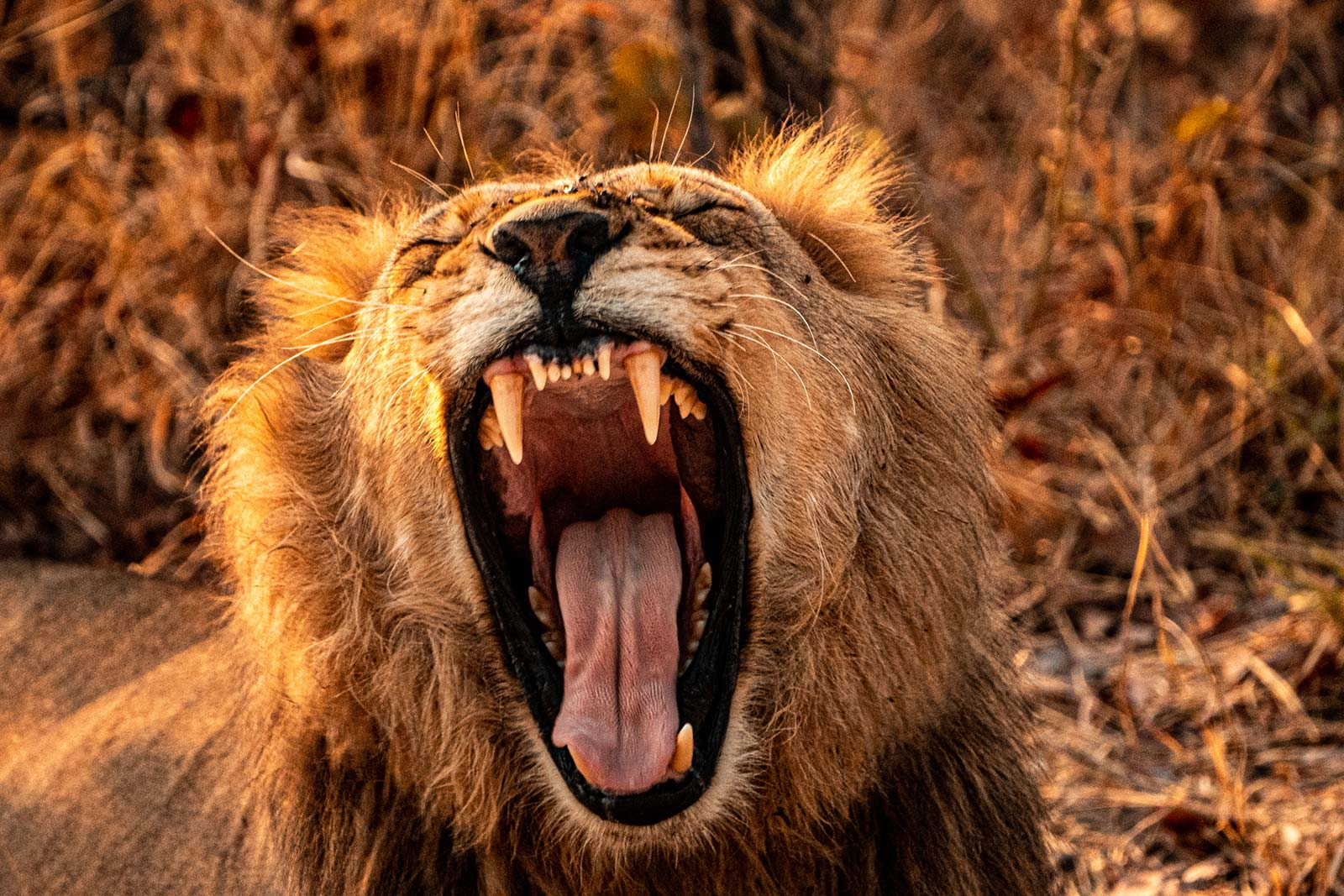 Lion yawning in Botswana, Africa. Getting chased by a herd of elephants