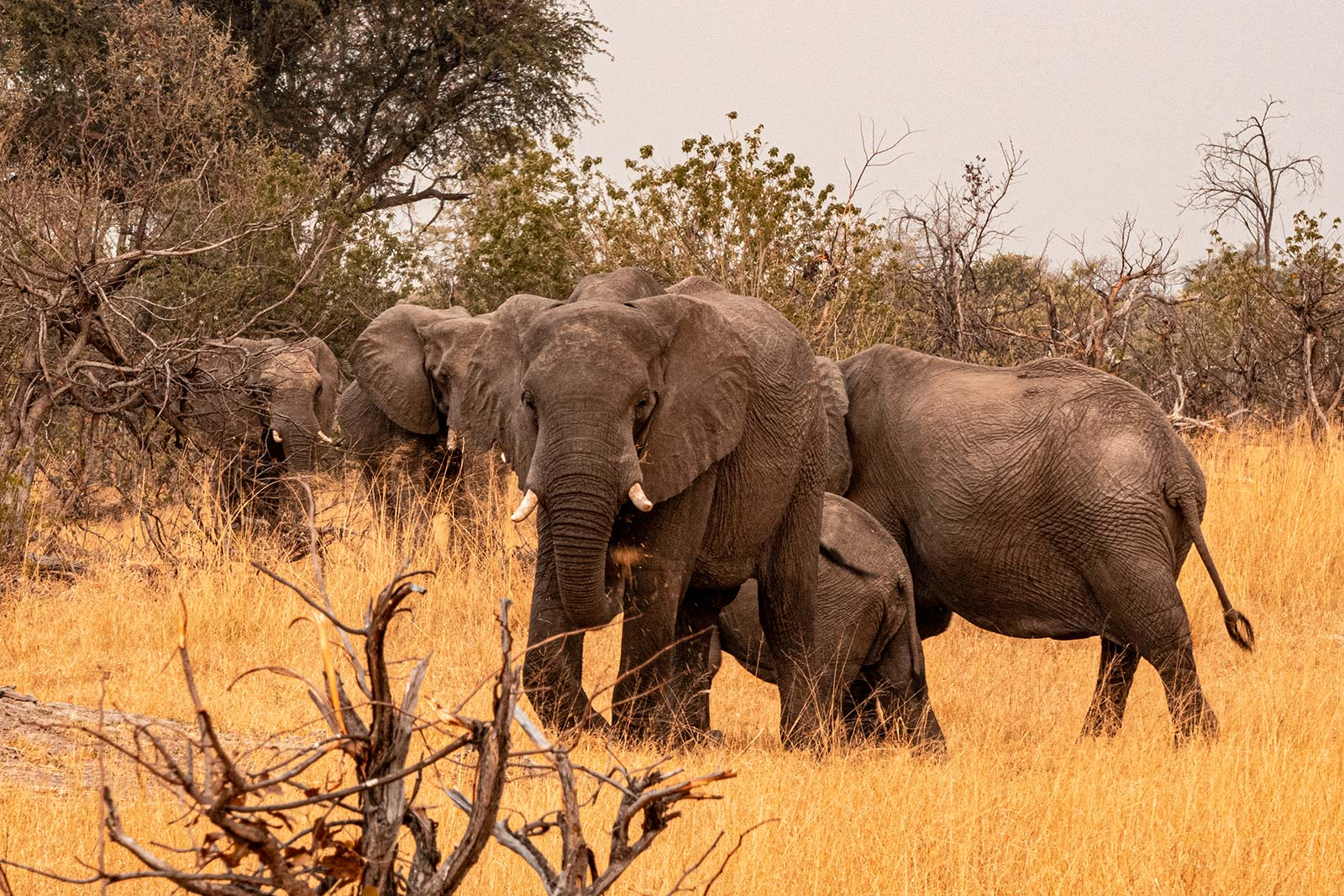 Elephants in Botswana, Africa. Getting chased by a herd of elephants