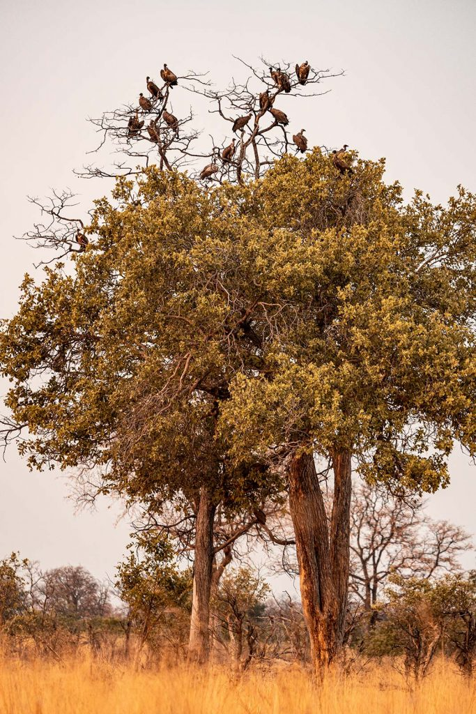 Vultures perched on a tree in Botswana, Africa. Getting chased by a herd of elephants