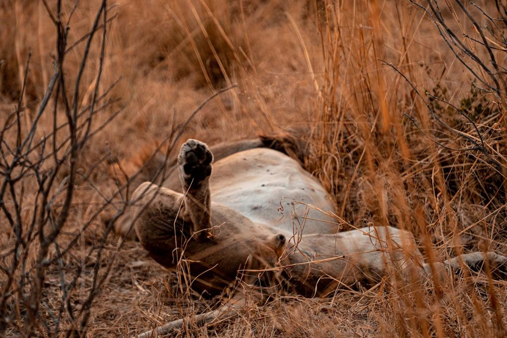 Sleeping lion in Botswana, Africa. Getting chased by a herd of elephants